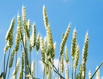 Field of green wheat Royalty Free Stock Photography