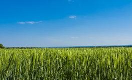 Field of green wheat Royalty Free Stock Photos