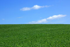 Field of green wheat. Royalty Free Stock Photo