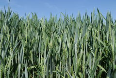 Field of green wheat. Low angle view of field of young green wheat, blue sky background Royalty Free Stock Image
