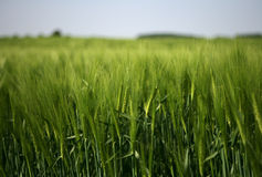 Field of green wheat Stock Photos