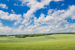 Field of green wheat. Green wheat against the blue sky Stock Photo