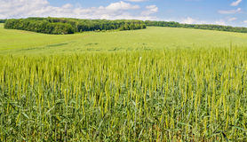 Field of green wheat. Green wheat against the blue sky Stock Image