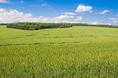 Field of green wheat. Green wheat against the blue sky Royalty Free Stock Photography