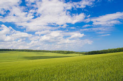 Field of green wheat. Green wheat against the blue sky Stock Photography