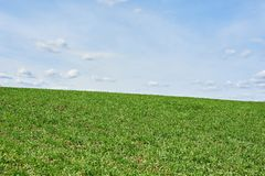 Field with green wheat and blue sky, spring time.  royalty free stock images