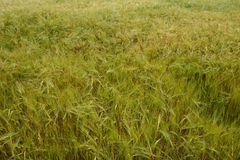 Field of green wheat close-up Royalty Free Stock Image