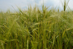 Field of green wheat close-up Royalty Free Stock Images