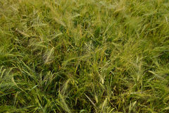 Field of green wheat close-up Royalty Free Stock Photo