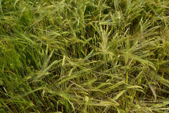 Field of green wheat close-up Stock Photo