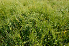 Field of green wheat close-up Stock Photography