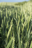 Field with green wheat Stock Photography