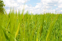 Field of green wheat ears against the blue cloudy sky Stock Photos