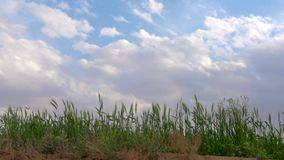 Field of green wheat stock footage