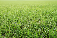 Field of green wheat grass Stock Images
