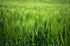 Field of green wheat grass Royalty Free Stock Images