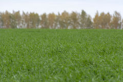 Field of green wheat, grass, background trees, autumn Stock Photography
