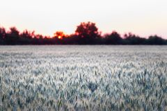 Wheat grass field with sunset, field of wheat grass royalty free stock image