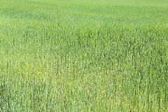 Field of green wheat grass Stock Image