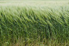 Field of green wheat Stock Images