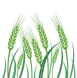 Field of Green Wheat - illustration. On white background Royalty Free Stock Image