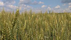 Field of green wheat. stock video