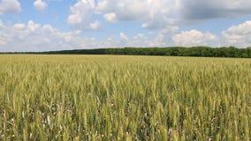 Field of green wheat. Macro shot stock video