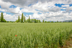Field of green wheat near roman city of carnuntum, vienna Stock Photography