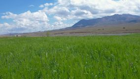 Field of green wheat near the track. In the background a mountain ridge stock video