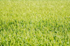 Field of green wheat plant stands tall with the setting sun Royalty Free Stock Photos