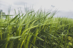 A field of green wheat Stock Photos