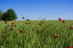 Field of green wheat and red poppies under the sun royalty free stock photography