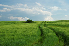 Field of green wheat with ruts Stock Photo