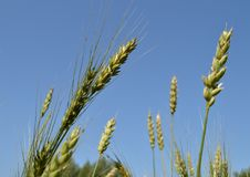 Field of green wheat and rye ears against a blue sky Stock Image