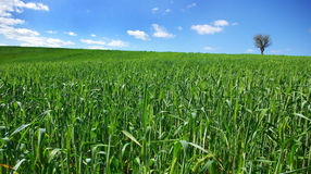 Field of green wheat with tree. royalty free stock image