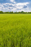 A field of green wheat under a cloudy sky Stock Images