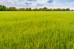 A field of green wheat under a cloudy sky Royalty Free Stock Photo
