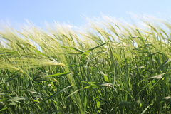 Field of green wheat Royalty Free Stock Image
