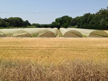 Field and greenhouses. Wheat field and greenhouses Stock Photo
