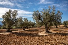 Field of group of olive trees royalty free stock photos