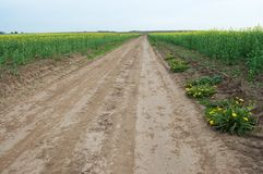 There is a road between the field of rapeseed. On the field grow green plants with yellow flowers. On the roadside there are yellow dandelions. Dirt road between Stock Photo