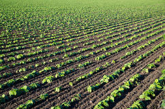Field of growing brown beans plants Stock Photos