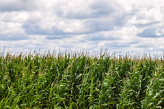 Field of growing corn Stock Photo