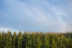 Corn field and bright sky. stock photography