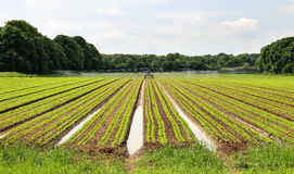 Field of growing crops being irrigated Royalty Free Stock Photos