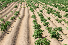 Field with growing green potatoes. Royalty Free Stock Photo