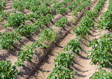 Field with growing green potatoes. Royalty Free Stock Image