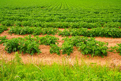 Field of growing potatoes close up Stock Photos