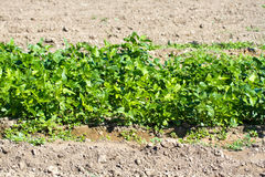 Field with growing vegetables. Field with green growing vegetables Royalty Free Stock Photos