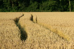 Field of growing wheat Royalty Free Stock Images